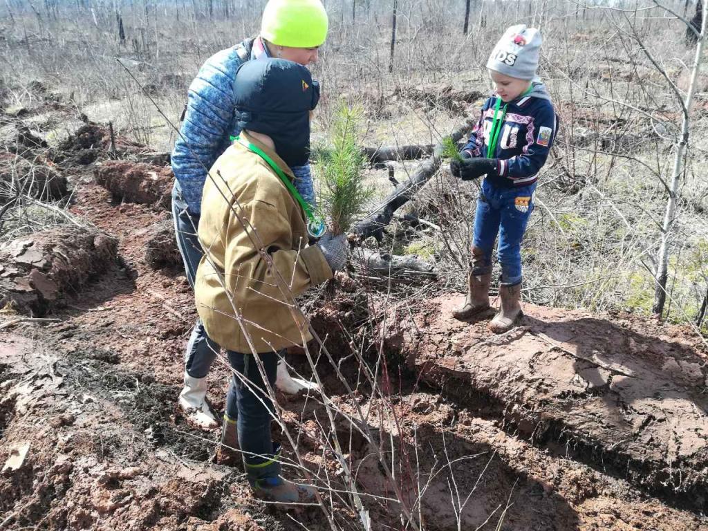 В Братске высадили 18 тысяч молодых сосен