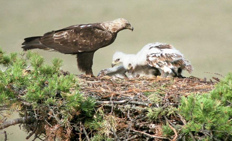 """""""Красный"""" серый гусь. Несколько видов животных и птиц, которые обитают на Байкальской природной территории, попали в число краснокнижных"""